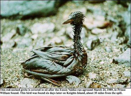 oiled bird from the Exxon Valdez spill off the BC Coast