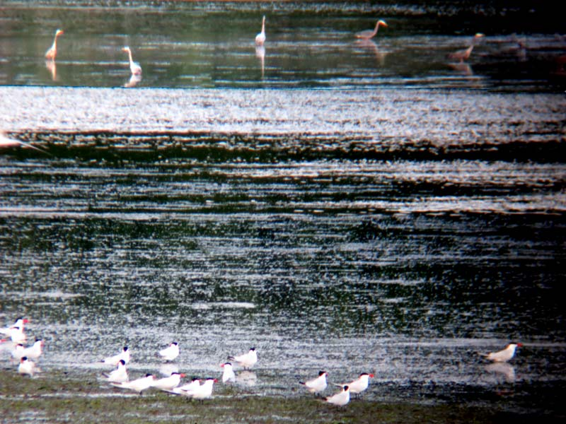 great blue herons and caspian terns near tswwassen ferry terminal